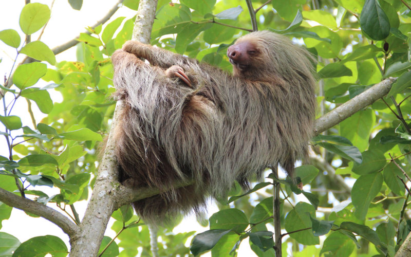 Faultier im Cahuita Nationalpark