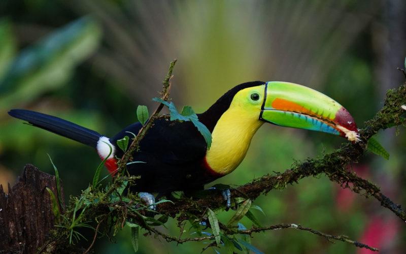 Tucán im Veragua-Regenwald