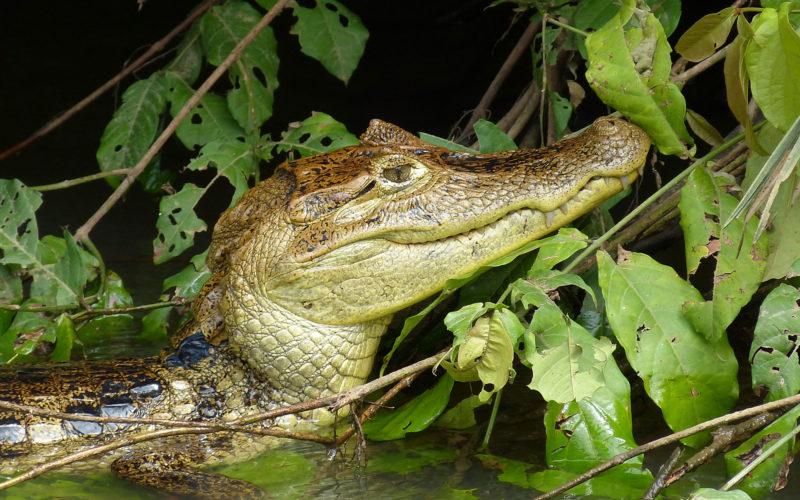 Krokodilkaiman an den Tortuguero-Kanälen