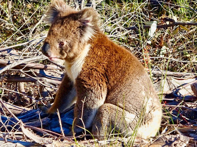 05-Kangaroo